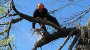 Tree pruning – a healthier alternative to topping